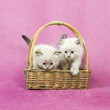 Siberian two colorpoint kittens royalty free stock photos