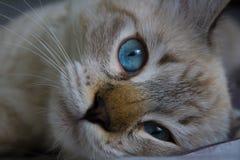 Siberian ung katt Royaltyfri Foto