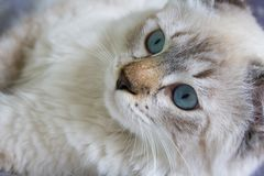 Siberian ung katt Royaltyfri Bild