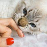 Siberian ung katt Fotografering för Bildbyråer