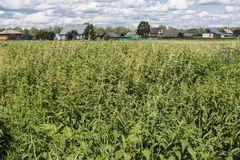 Rural field overgrown with nettles. royalty free stock image