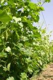 siberian vingård Arkivbild