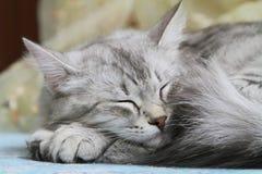 Siberian vuxen katt Arkivfoton