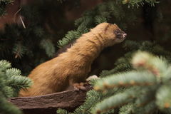 Siberian weasel Stock Photos
