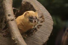 Siberian weasel Stock Photo
