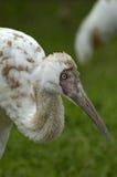 Siberian white crane (grus leucogeranus). A portrait of a siberian white crane (grus leucogeranus Stock Image