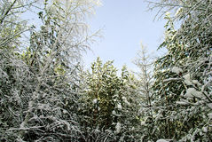 Siberian wood in the winter royalty free stock photo
