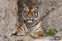 Siberiana de Tigre Image stock