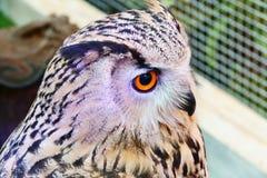 SiberianEagle Owl show på shoppinggallerian Thailand royaltyfri fotografi
