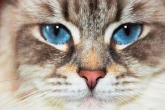 Siberianen Neva Masquerade Close Up Cat vänder mot arkivbilder
