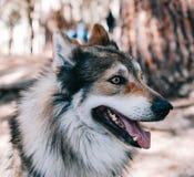 SiberianHusky Laika hund royaltyfri foto