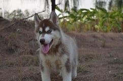 Siberiano del perro Imagen de archivo