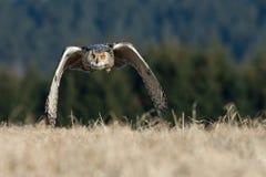 Siberiano Eagle Immagini Stock