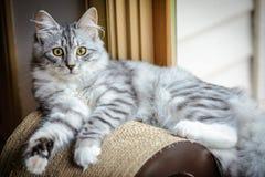 Siberiano Forest Cat Kitten Imagenes de archivo