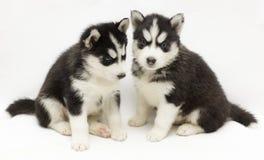 Siberiano Huski Fotografia Stock Libera da Diritti
