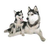 Siberiano Husky Father e hijo imagen de archivo