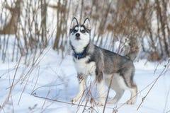 Siberiano Husky Puppy Foto de archivo libre de regalías