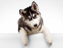 Siberiano Husky Puppy Curious Looking en blanco Imagen de archivo