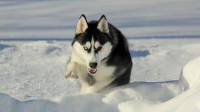 Siberiano Husky Puppy su neve Immagine Stock