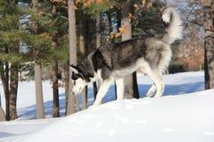Siberiano Husky Puppy su neve Immagini Stock