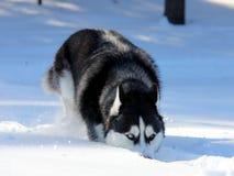 Siberiano Husky Puppy su neve Immagine Stock Libera da Diritti