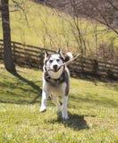 Siberiano Husky Running With Stick imagenes de archivo