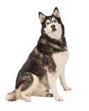 Siberiano Husky Sitting a echar a un lado Imagen de archivo libre de regalías