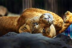 Siberiano Liger Fotografía de archivo libre de regalías