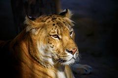 Siberiano Ligerr encendido por el sol poniente Foto de archivo