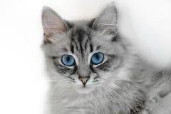 Siberiano Neva Masquerade Cat Portrait nel fondo bianco Fotografia Stock