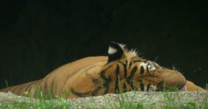 Siberiano Tiger Jungle video d archivio