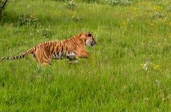 Siberiano Tiger Running a Foto de archivo