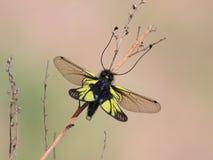 Sibericus Everman di Ascalaphus Fotografia Stock Libera da Diritti
