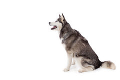 Siberien husky dog in studio Royalty Free Stock Photo