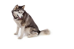 Siberien husky dog in studio Royalty Free Stock Photography