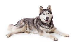 Siberien husky dog in studio Royalty Free Stock Image