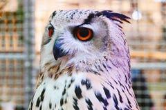 Siberisch Eagle Owl toont bij winkelcomplex Thailand stock afbeeldingen