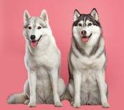 Siberisch Husky Dog Isolated op Roze Achtergrond stock fotografie