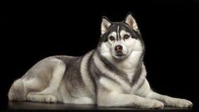 Siberisch Husky Dog Isolated op Zwarte Achtergrond royalty-vrije stock afbeeldingen