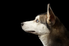 Siberisch Husky Dog op Geïsoleerde Zwarte Achtergrond royalty-vrije stock foto