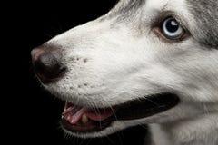 Siberisch Husky Dog op Zwarte Achtergrond stock foto's