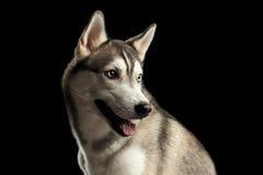 Siberisch Husky Dog op Zwarte Achtergrond stock foto