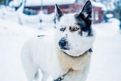 Siberisch Husky Dog Sled in Ivalo, Finland royalty-vrije stock fotografie
