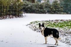 Siberisch Husky Dog Walks in de Sneeuw Stock Afbeeldingen