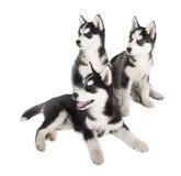 Siberisch Husky Puppy stock fotografie