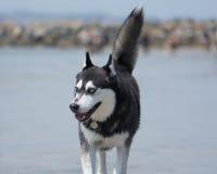 Siberisch Husky Sled Dog bij het Strand Staart in de lucht Royalty-vrije Stock Foto