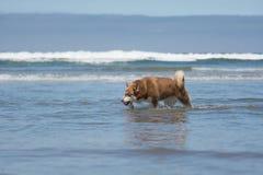 Siberisch Husky Sled Dog Playing bij het Strand Royalty-vrije Stock Afbeelding