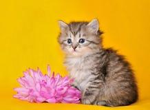 Siberisch katje Royalty-vrije Stock Foto's