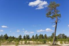 Siberisch landschap, pijnboom en zand royalty-vrije stock afbeeldingen