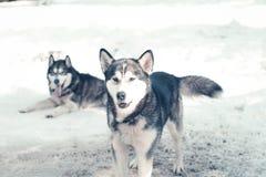 Siberisch schor pak in de sneeuw royalty-vrije stock fotografie